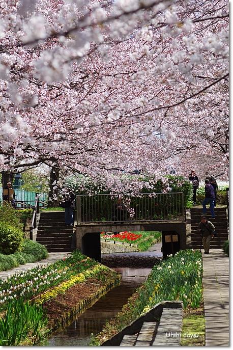桜の花とチューリップ♪ 江川せせらぎ緑道2012_f0179404_2136431.jpg