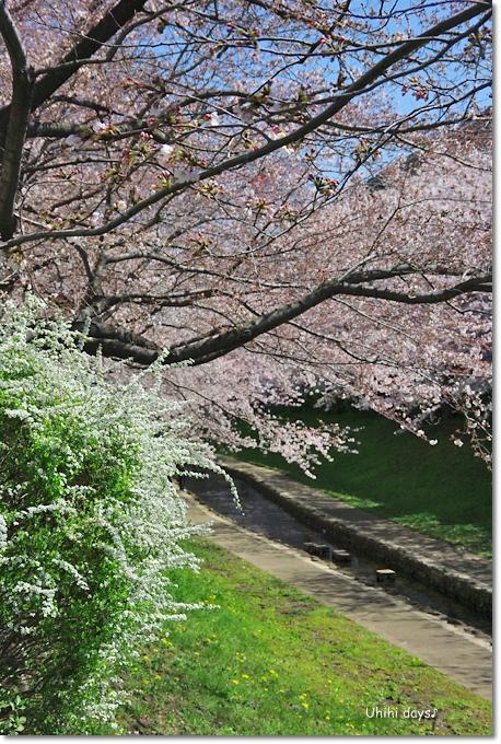 桜の花とチューリップ♪ 江川せせらぎ緑道2012_f0179404_2138557.jpg