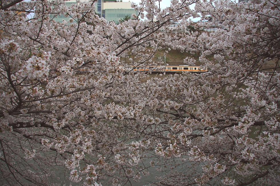 外濠の桜_b0190710_8212099.jpg