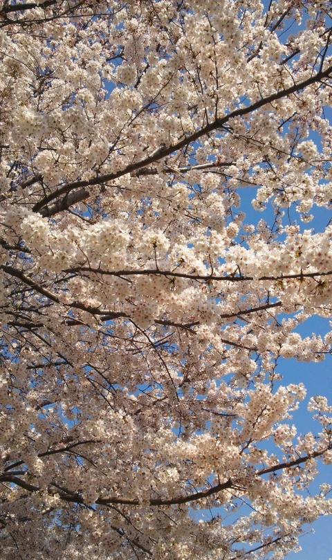 桜_b0002311_22445247.jpg