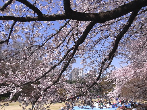 桜が満開@新宿御苑_c0192215_14443425.jpg