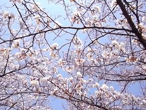 Cherry Blossoms!_b0105719_213991.jpg
