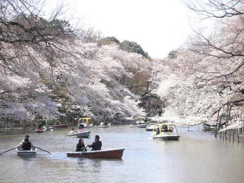 桜 「井の頭公園」_f0092320_21383022.jpg