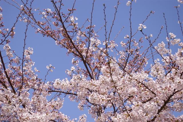 桜便り***キューちゃん_d0138130_19282991.jpg