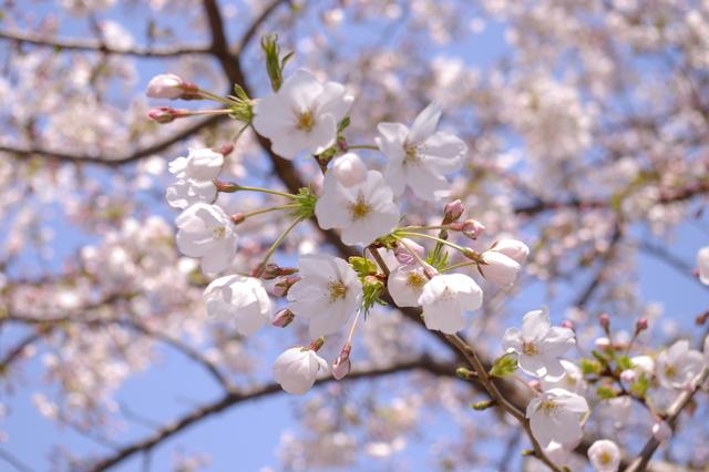 桜便り***キューちゃん_d0138130_1929539.jpg