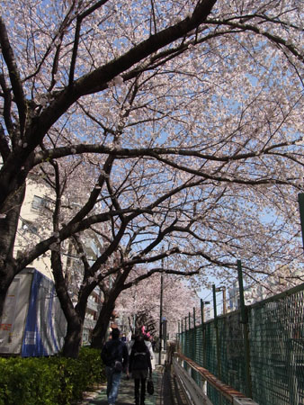 花見     A cherry blossom-viewing_b0029036_16344115.jpg
