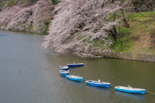 桜 ー 千鳥ヶ淵_a0074540_2119999.jpg