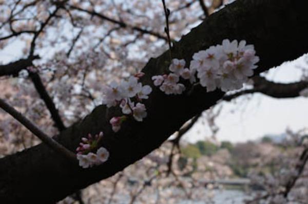 桜 ー 千鳥ヶ淵_a0074540_21203623.jpg
