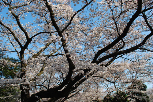 近所でお花見_a0175348_2053324.jpg