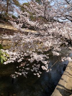 春と桜とウーパールーパーと_a0017350_09024.jpg
