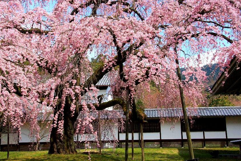 京都 桜めぐり♪_a0092659_21593676.jpg