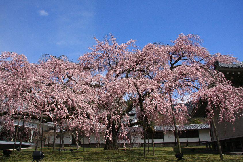 京都 桜めぐり♪_a0092659_22152915.jpg