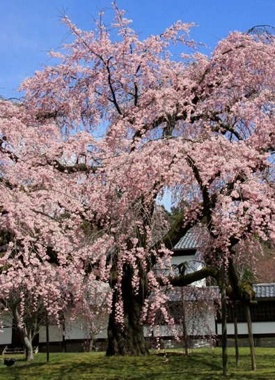 京都 桜めぐり♪_a0092659_221924100.jpg