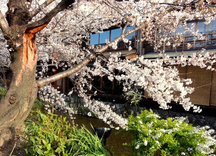 京都 桜めぐり♪_a0092659_22454950.jpg
