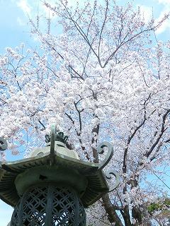 6 hours その3  富士見坂のち護国寺でお花見♪_a0165160_19472587.jpg