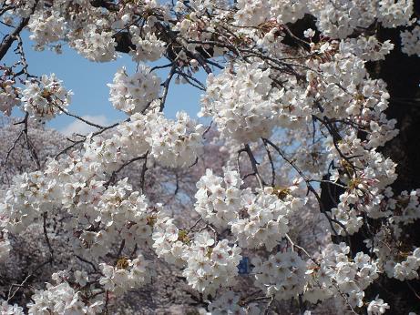 お花見散歩_d0006467_20171599.jpg