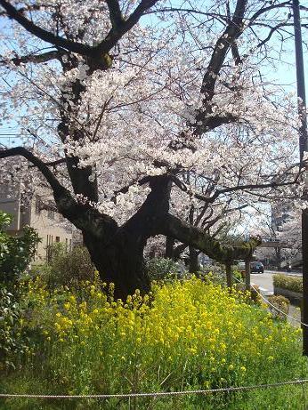 お花見散歩_d0006467_20183031.jpg