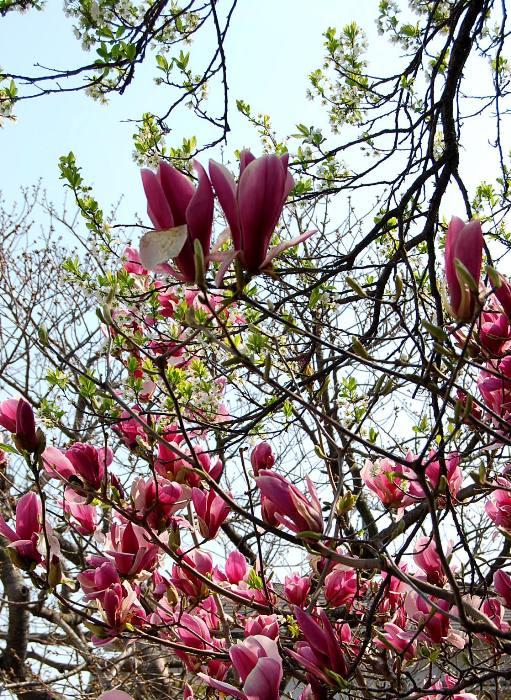 灘区「桜のトンネル」_b0165872_19411860.jpg