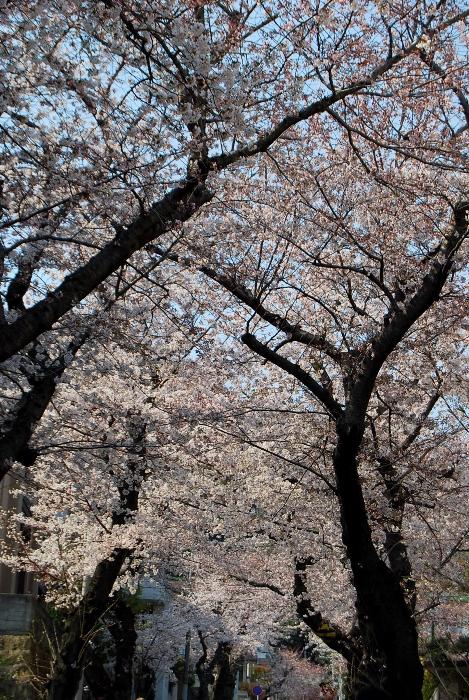 灘区「桜のトンネル」_b0165872_1941311.jpg