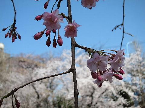 桜を、どう撮りましたか。_b0141773_22553944.jpg