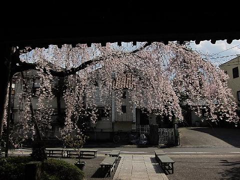 桜を、どう撮りましたか。_b0141773_22565853.jpg