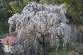 枝垂れ桜(糸さくら)_e0136194_1954373.jpg