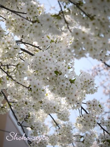 桜満開_a0135999_1849436.jpg