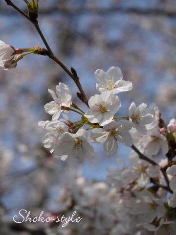 桜満開_a0135999_18512338.jpg