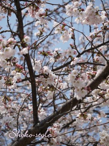 桜満開_a0135999_18531842.jpg