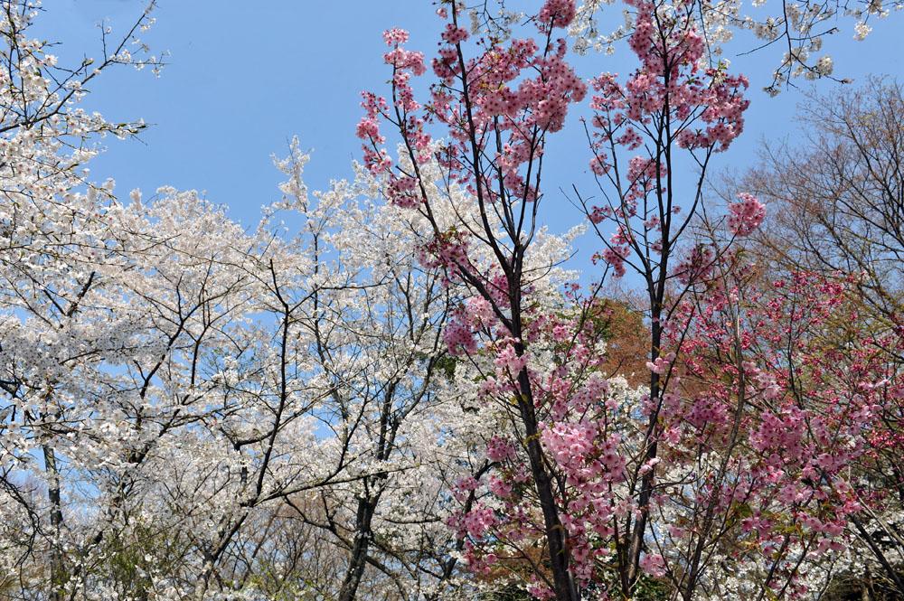 宝満宮 竃門神社 桜の季節_a0042310_100463.jpg