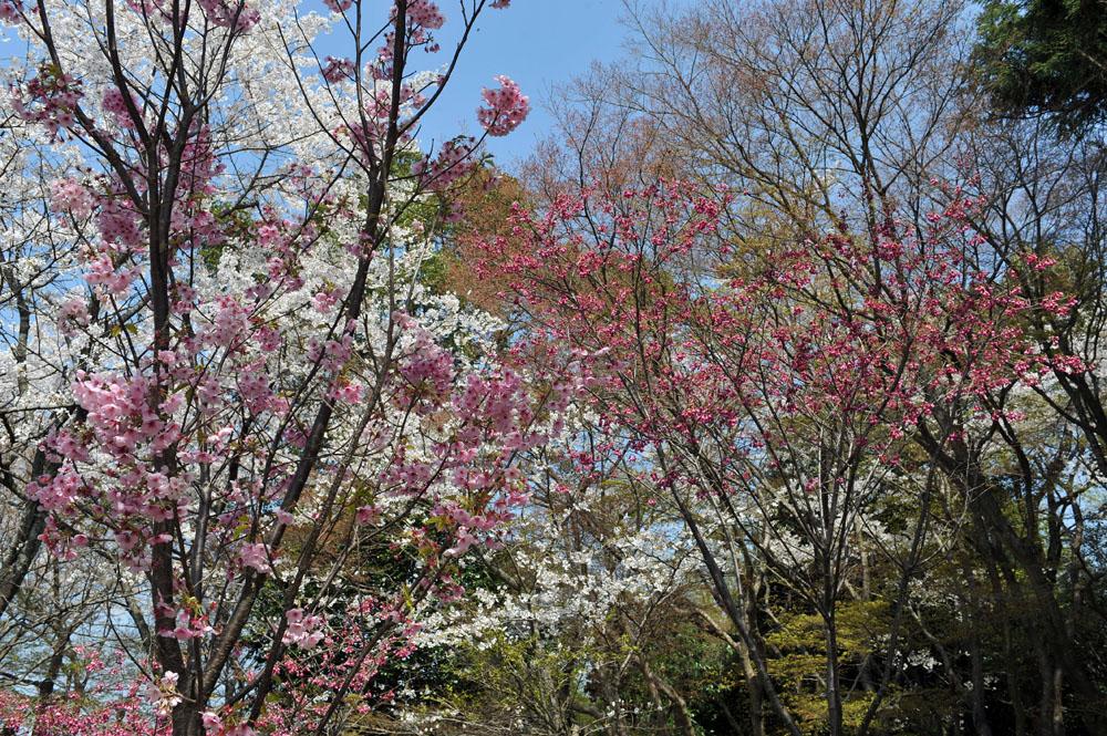 宝満宮 竃門神社 桜の季節_a0042310_101089.jpg
