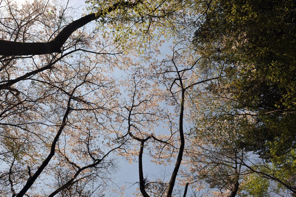 宝満宮 竃門神社 桜の季節_a0042310_10111628.jpg
