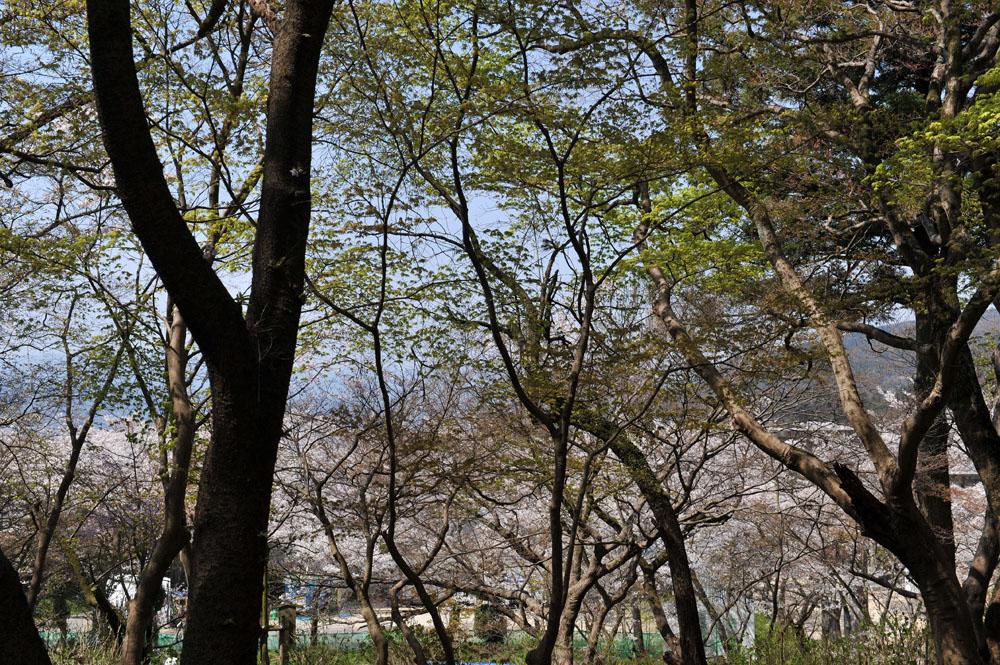 宝満宮 竃門神社 桜の季節_a0042310_10113658.jpg