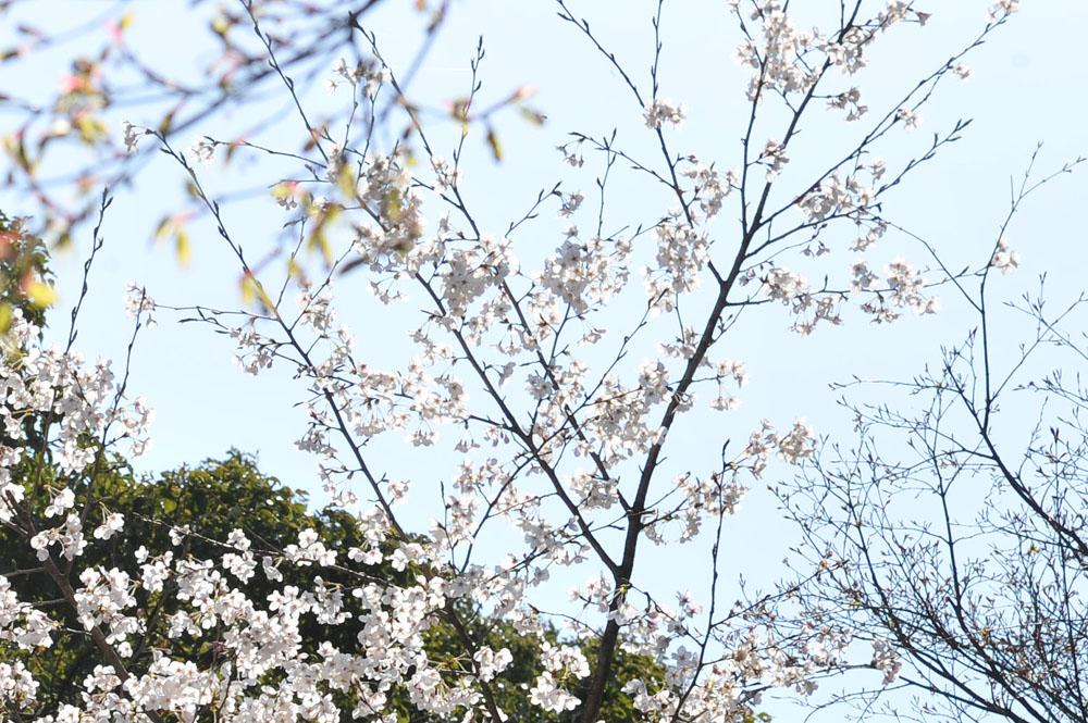 宝満宮 竃門神社 桜の季節_a0042310_1013304.jpg