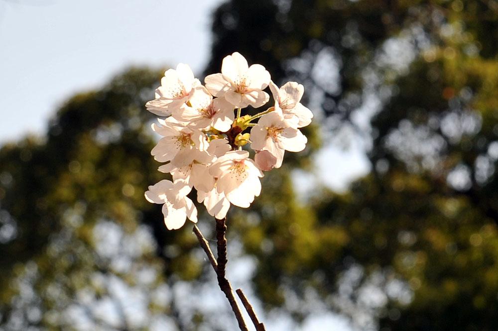 宝満宮 竃門神社 桜の季節_a0042310_10133894.jpg
