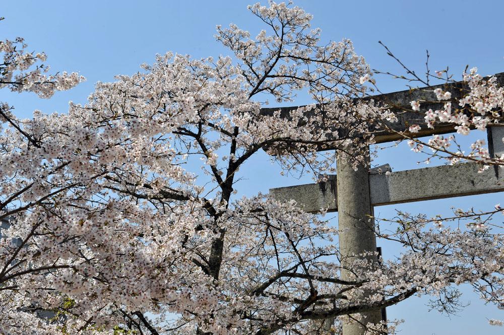 宝満宮 竃門神社 桜の季節_a0042310_10162327.jpg