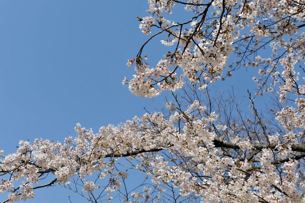 宝満宮 竃門神社 桜の季節_a0042310_10174238.jpg