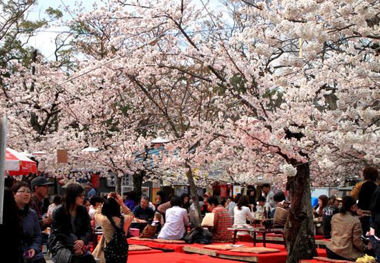 円山公園 満開_e0048413_21512840.jpg