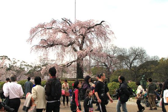 円山公園 満開_e0048413_21514247.jpg