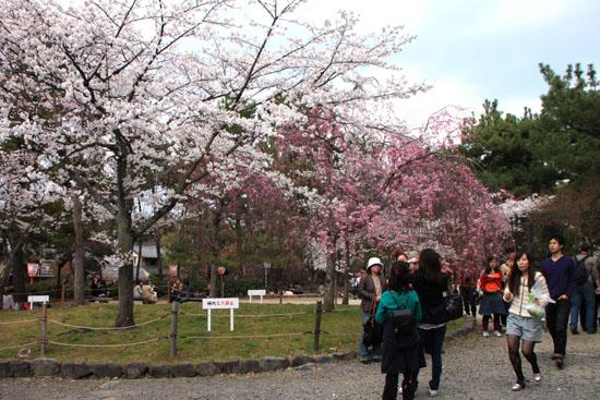 円山公園 満開_e0048413_21523116.jpg