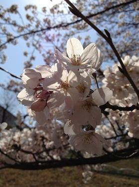 ☆京都の桜&発明家☆_f0191715_1274874.jpg