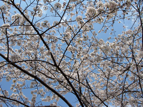 五十鈴川 桜情報 3  満開!_f0129726_21574649.jpg