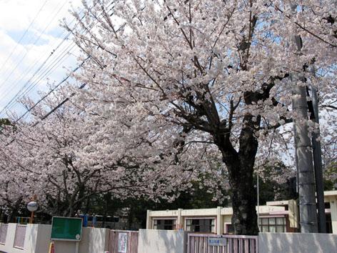五十鈴川 桜情報 3  満開!_f0129726_228466.jpg