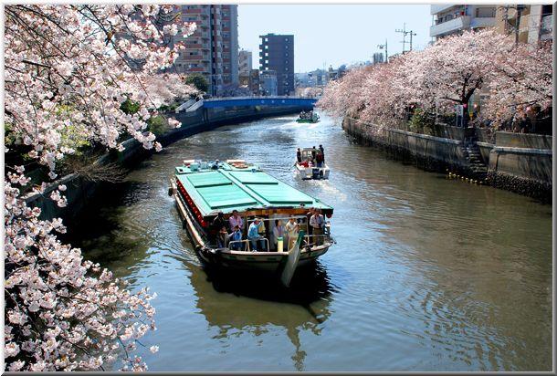今年のハマ桜(大岡川)_d0123528_18461289.jpg