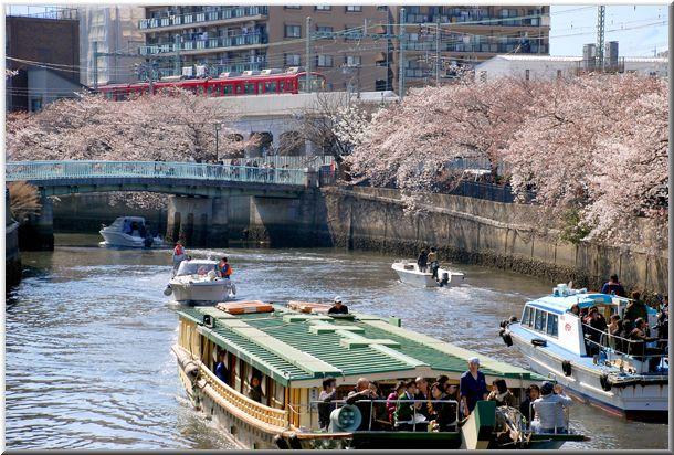 今年のハマ桜(大岡川)_d0123528_18513030.jpg