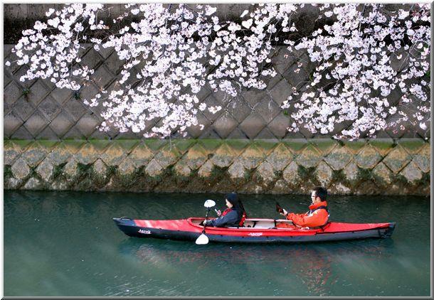 今年のハマ桜(大岡川)_d0123528_1953295.jpg