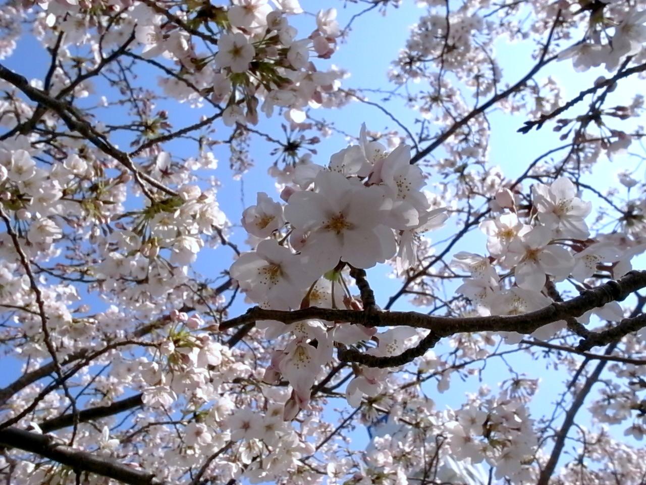 目黒川の桜_f0234628_13195774.jpg