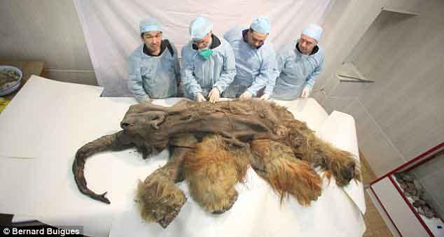 『ヒトが関与したマンモスの死骸が見つかる』/ BBC動画_b0003330_2255721.jpg