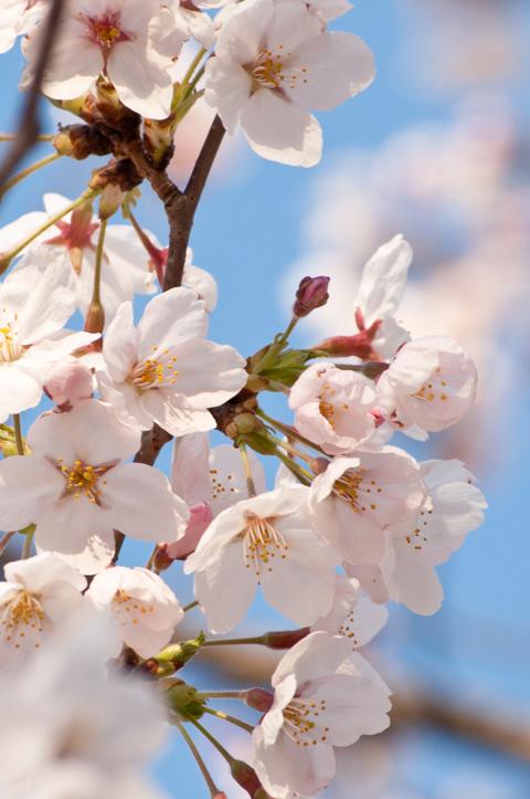 桜[新宿の桜]_d0214541_14491379.jpg