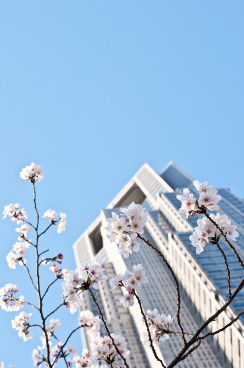 桜[新宿の桜]_d0214541_14503215.jpg